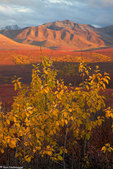 Fall colors, Denali National Park, Alaska.