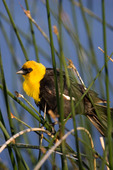Male yellow-headed blackbird on a slough south of Morse, Saskatchewan