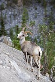 Stone Sheep along the Alaska highway near Stone Mountain Provincial Park, British Columbia