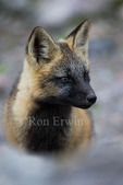 Young Red Fox (Vulpes vulpes) cross phase near Cartwright, Labrador, NL