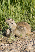 Richardson's Ground Squirrels (gophers) (Spermophilus richardsonii), Morse, Saskatchewan, Canada