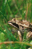 Wood frog (Lithobates sylvaticus formerly Rana sylvatica) in grass, Manitoba Tall Grass Prairie Preserve, Manitoba