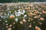 Tawny Cotton Grass (Eriophorum virginicum) east of Red Bay, Labrador, is a sedge that is abundant in bogs and wet areas along the Labrador Coastal Drive (Route 510), Newfoundland and Labrador