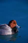 Close-up side-view of a Redhead (Aythya americana) duck with water drops on its head and swimming on Lake Ontario at the Scarborough Bluffs in eastern Toronto, Ontario