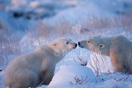 Two Polar Bears (Ursus maritimus) that look like they are about to kiss on the coast of Hudson Bay at the Seal River estuary (near Churchill), Manitoba