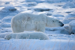 Polar Bear (Ursus maritimus) on the coast of Hudson Bay at the Seal River estuary (near Churchill), Manitoba - the Seal River is a Canadian Heritage River and polar bears are listed as Threatened by the U.S. Fish &amp; Wildlife Service and Special Concern by COSWIC in Canada (no status under SARA)