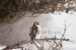 A Red-tailed Hawk (Buteo jamaicensis) perched in a pine tree in Presqu'ile Provincial Park, Ontario