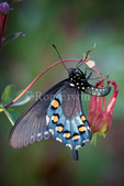 Pipevine Swallowtail (Battus philenor) butterfly on Wild Columbine (Aquilegia canadensis), Rondeau Provincial Park, Ontario - this swallowtail is rare in Canada