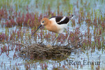 American Avocet (Recurvirostra americana) adult getting on its nest at the edge of Reed Lake in Morse, Saskatchewan
