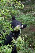 A Female Black Bear eating berries in Cape Breton Highlands National Park, Nova Scotia