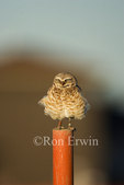 A fluffed up Burrowing Owl (Athene cunicularia), an Endangered Species under the Species at Risk Act, on a post in a new subdivision in Moose Jaw, Saskatchewan