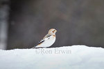 Male Snow Bunting (Plectrophenax nivalis) in winter plumage sits on a snow bank in Algonquin Provincial Park, Ontario