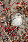 Northern Mockingbird (Mimus polyglottos) on an ornamental Red Barberry shrub, Scarborough Bluffs, Toronto, Ontario