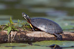 Midland Painted Turtle (Chrysemys picta marginata) basking in the sun on a log in Killarney Provincial Park, Ontario - in Ontario only the Midland Painted Turtle has red and orange markings on its shell