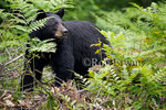 A female Black Bear (Ursus americanus) with two white patches on her chest forages for food among some ferns in Killarney Provincial Park, Ontario