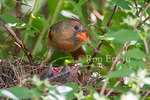 A female Northern Cardinal at the nest with her two nestlings asking to be fed in a backyard mock orange tree, Toronto, Ontario