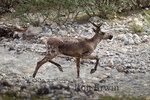 Woodland Caribou (Rangifer tarandus caribou) in Muncho Lake Provincial Park, British Columbia - the Boreal and Southern Mountain populations of Woodland Caribou are listed as threatened by COSEWIC/SARA and the Northern Mountain population listed as Special Concern