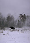 Helicopter moves into position to net a Michigan moose. First image in a sequence of four.