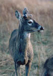 Antler development sequence of an adult 8-point whitetail buck. Antler buds visible on May 1. First image in a sequence.