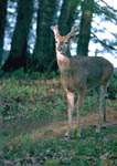 Antler development of an 8-point Whitetail Buck By June 2. Antlers have have begun to fork. Second image in a sequence.