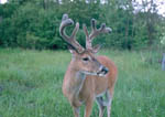 Whitetail buck with growing antlers on July 8. Seventh image in a sequence.