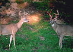 Younger 8-point whitetail with velvet intact that was curious about velvet shedding of larger buck. Thirteenth image in a sequence.