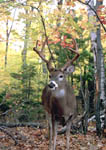 An 8-point whitetail buck with polished antlers on October 5. Fourteenth image in a sequence.