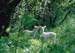 Twin albino whitetail bucks as fawns. First image in a sequence.