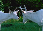 Twin albino whitetail bucks with first antlers, with one still in velvet. Second image in a sequence.