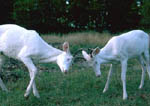 Twin albino whitetail bucks sparring. Third image in a sequence.