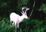 Two-year-old albino whitetail buck in velvet. Fourth photo in a sequence.