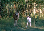 Whitetail doe with albino fawn.