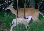 Albino whitetail fawn nursing from its mother.