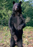 Black bear stands on hind legs for a better look around.