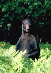 Black bear standing to look over ferns.