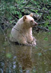 Blond black bear cools off in water.