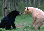 Black and blond black bears face off.
