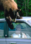 Brown black bear on car frightens woman inside.
