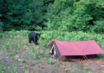 Black bear approaching tent.