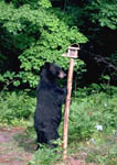 Black bear attracted to a bird feeder.