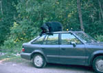 Black bear napping/resting on top of a car.