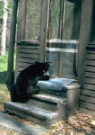Nuisance black bear damaging screen on cabin door.
