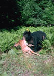 Black bear carries off a whitetail fawn.