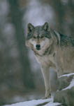 Gray wolf on alert during winter.