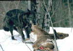 Black gray wolf drags a whitetail deer.