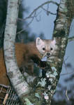 Releasing a pine marten in a tree during reintroduction.