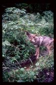 Coyote eating raspberries along a logging road.