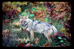 Side view of coyote among ferns during early fall.