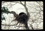 Black Bear denned in a bald eagle's nest.