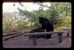 Black bear lifting a soup can from fire pit at campground in Michigan.